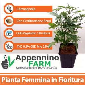 Carmagnola_scheda_pianta-femmina-appenninofarm