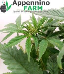 appenninofarm-fiore-futura75-pianta-femmina-indoor-cannabislight