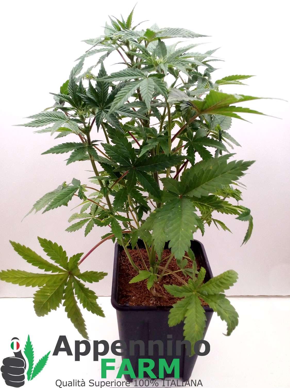 appenninofarm-futura75-pianta-femmina-indoor-cannabislight