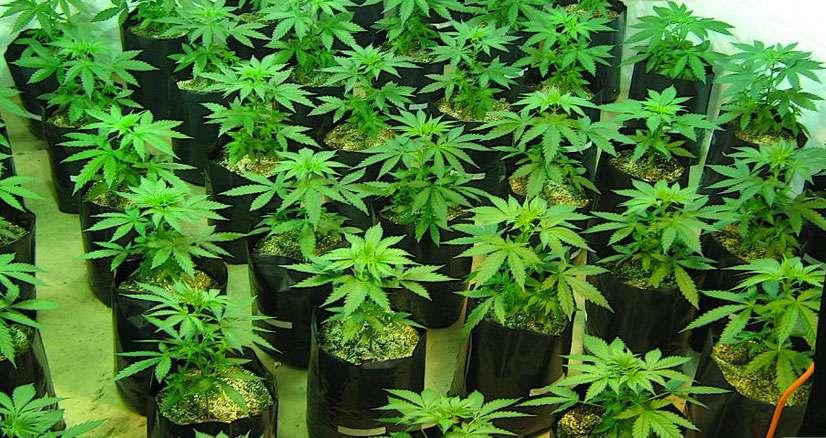 cannabislight-pianta-vegetativa