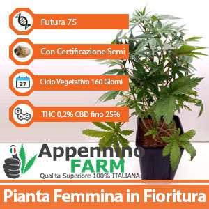 futura75_scheda_pianta-femmina-appenninofarm