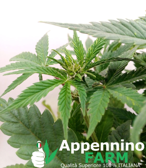 appenninofarm-fiore-pianta-femmina-indoor-cannabislight