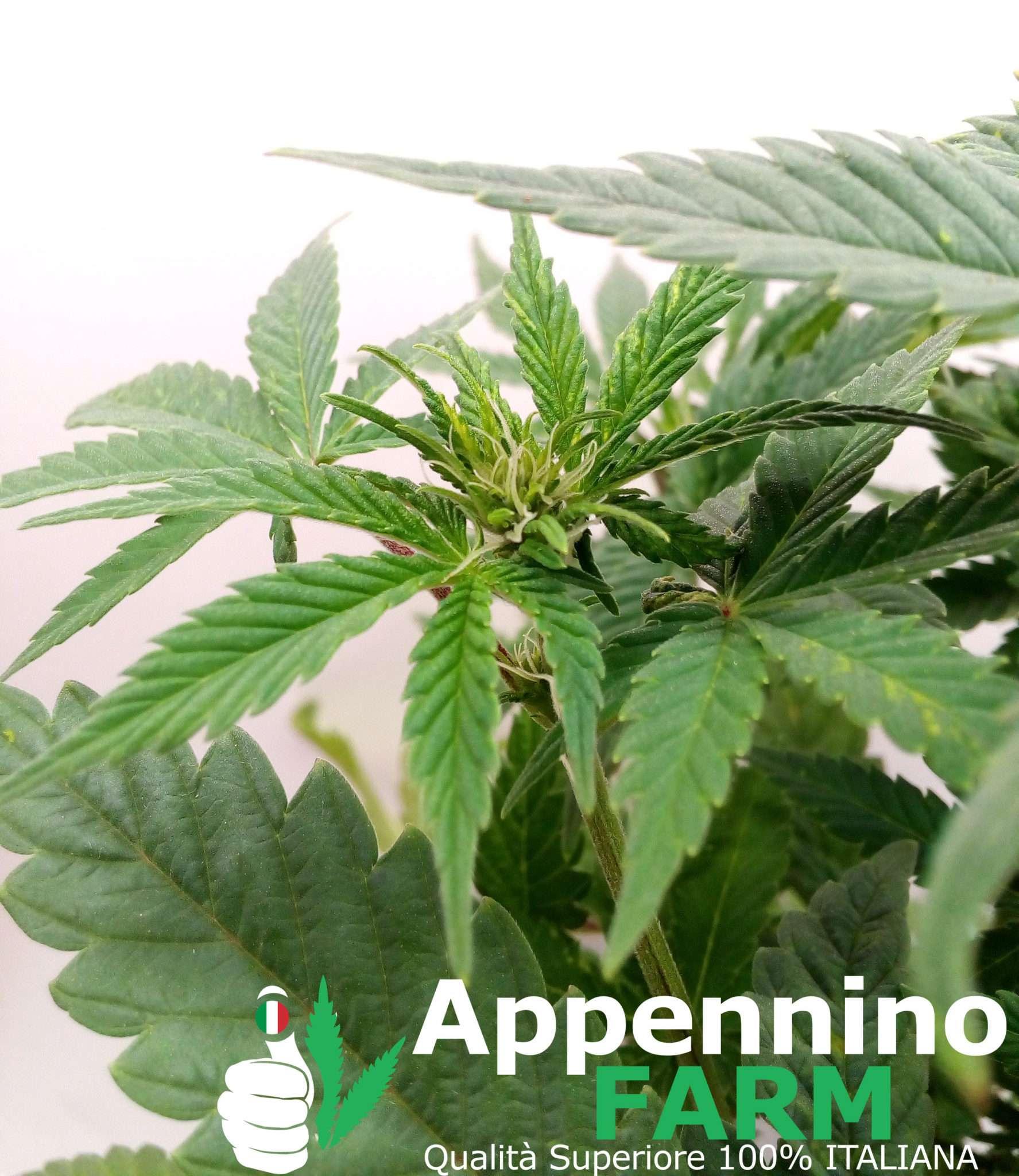 appenninofarm-fiore-pianta-femmina-indoor-cannabislight