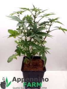 appenninofarm-pianta-femmina-indoor-cannabislight