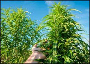 cannabislight-OUTdoor-appenninofarm