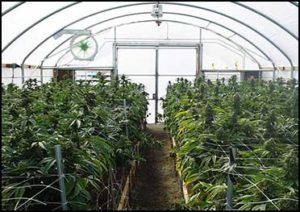 cannabislight-greenhouse-appenninofarm