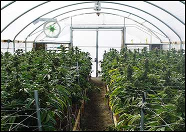 cannabislight-greenhouse-appenninofarm