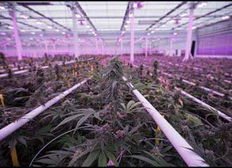 cannabislight-indoor-appenninofarm