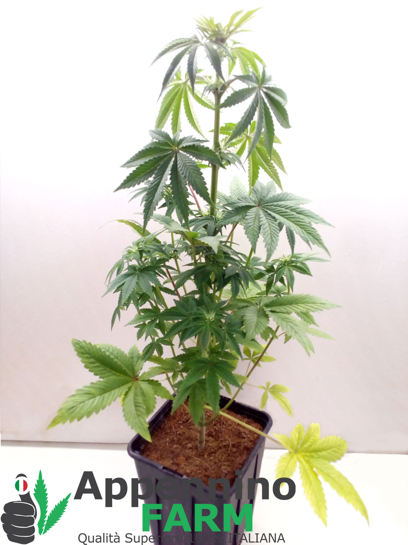 appenninofarm-finola-pianta-femmina-indoor-cannabislight