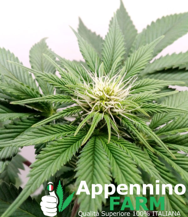 appenninofarm-fiore-finola-pianta-femmina-indoor-cannabislight