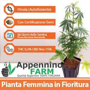 finola_scheda_pianta-femmina-appenninofarm