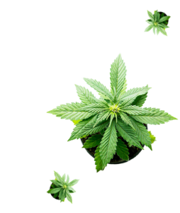 piante-femmina-cannabis-light-certificate-locandinahome-appennino-farm