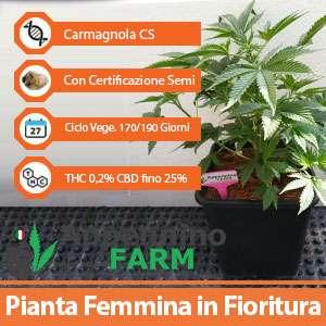 Cannabis Light online produttori infiorescenze Canapa Legale