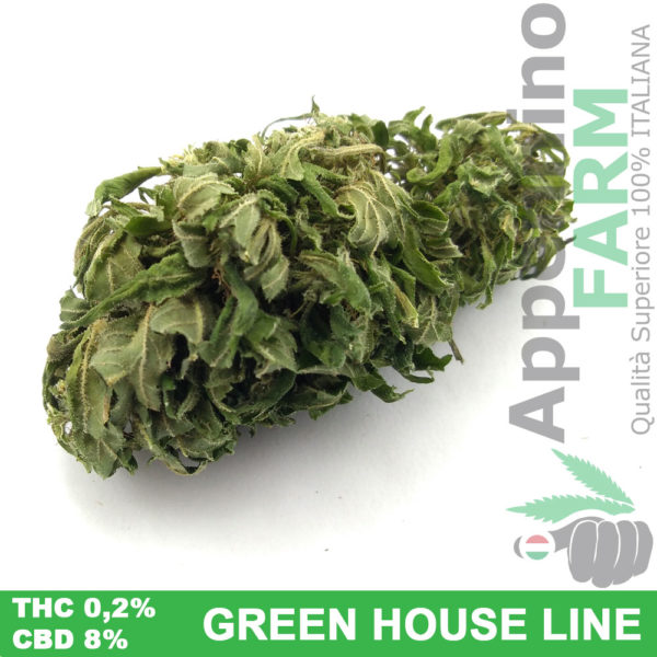 Bud GreenBandha cannabis light in green house